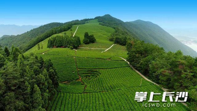 """领跑行业,""""潇湘""""茶飘香全国!湖南省茶叶公共品牌敲定五年发展路径"""