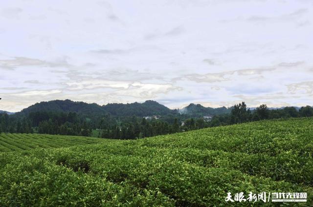 创新驱动资本加持补链强链!遵义茶业集团抱团发展做强茶产业