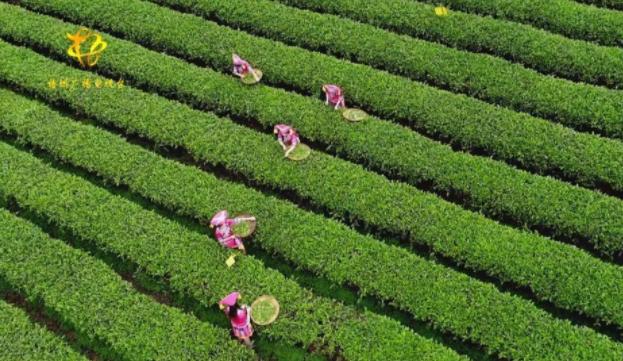 发展六堡茶产业助推六堡茶销全国、卖全球