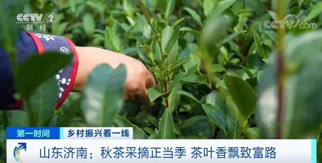 山东济南:秋茶采摘正当季茶叶香飘致富路