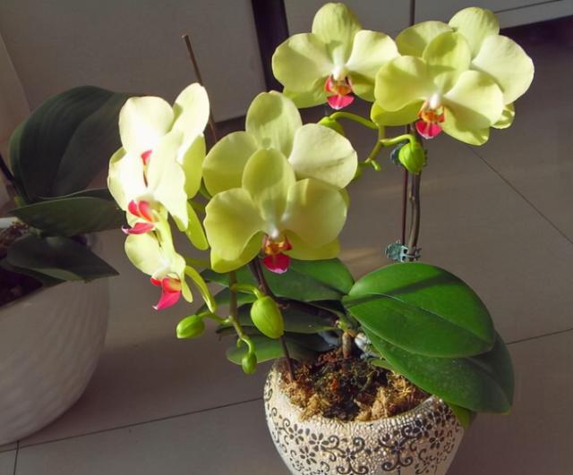 """蝴蝶兰想要再次""""复花"""",秋季做好3步,让它冒花杆,过年就开花"""
