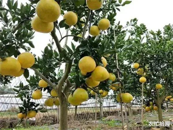 """0月刚成熟,产地一斤2块一棵挂果可达3百斤,农民却不敢尝试"""""""
