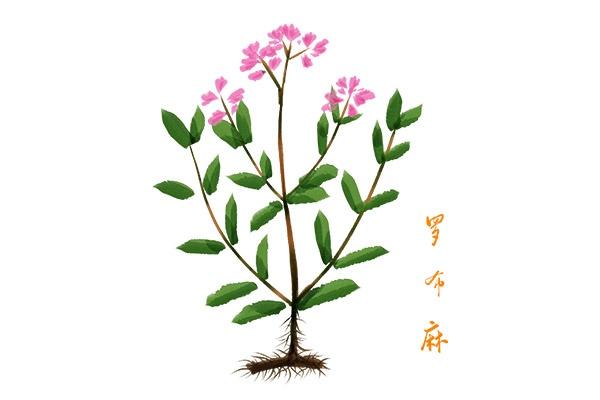 罗布麻茶的功效与作用(常喝罗布麻茶对身体有什么好处)