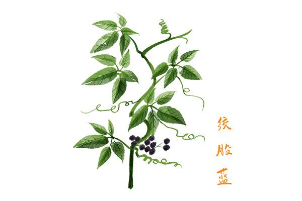 绞股蓝茶的功效与作用(常喝绞股蓝茶对身体有什么好处)