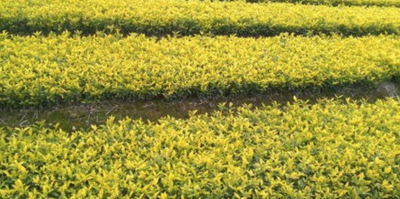 溪黄茶有什么作用(常喝溪黄茶有助于肝脏的解毒和祛黄胆毒)