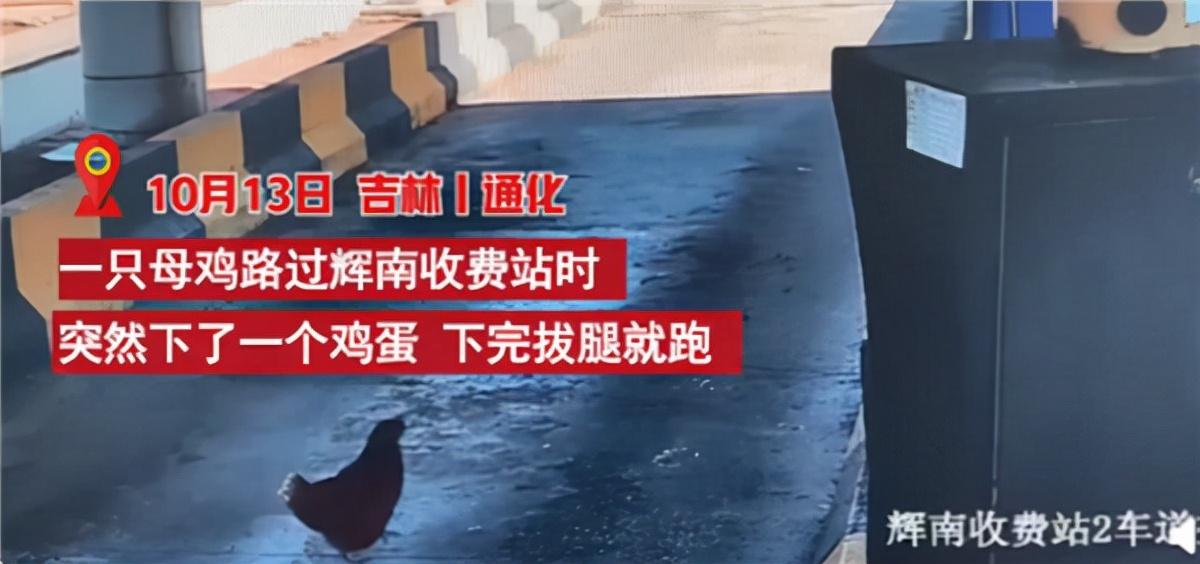 吉林通化:母鸡路过收费站下完蛋拔腿就跑 网友称是来交过路费的吗